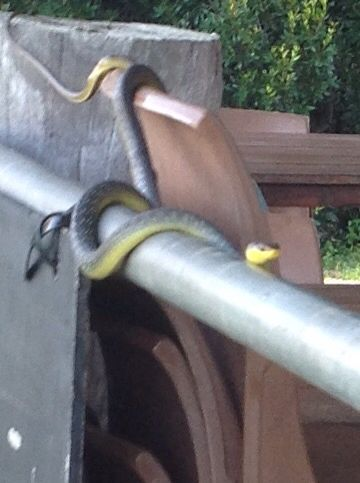 Bago's own tree snake