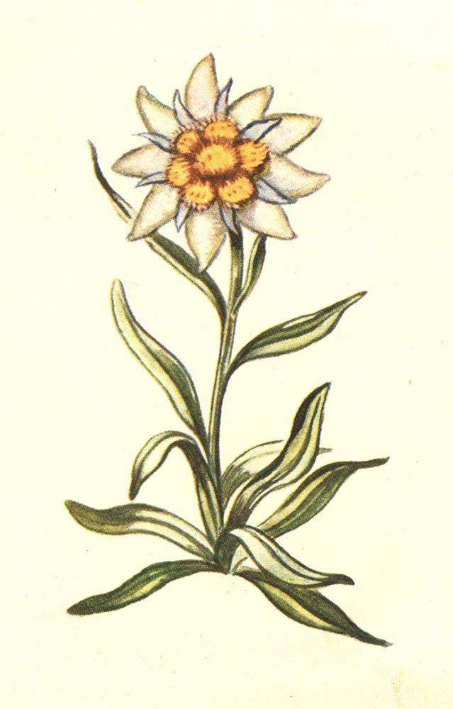 Edelweiss~ Swiss roots