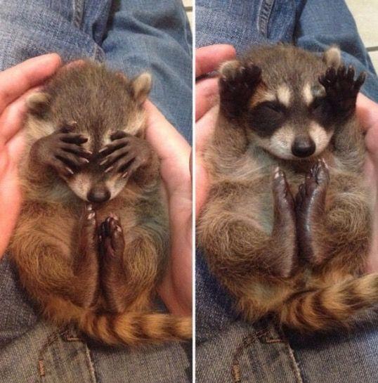 Bebek, rakun, korktuğunda gözlerini kapatırmış. Baby raccoons when they scared,  they cover their eyes
