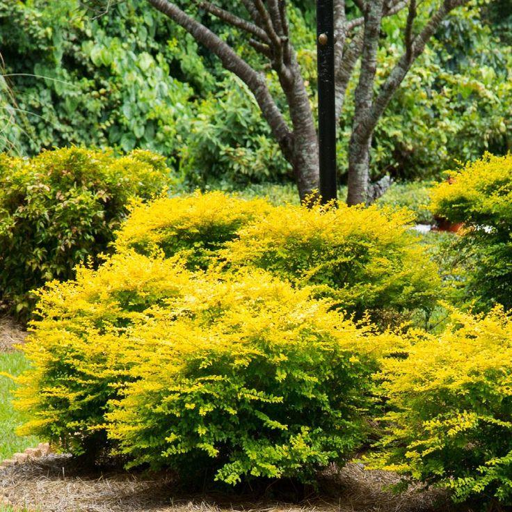 Southern Living Plant Collection 2.5 Qt. Sunshine