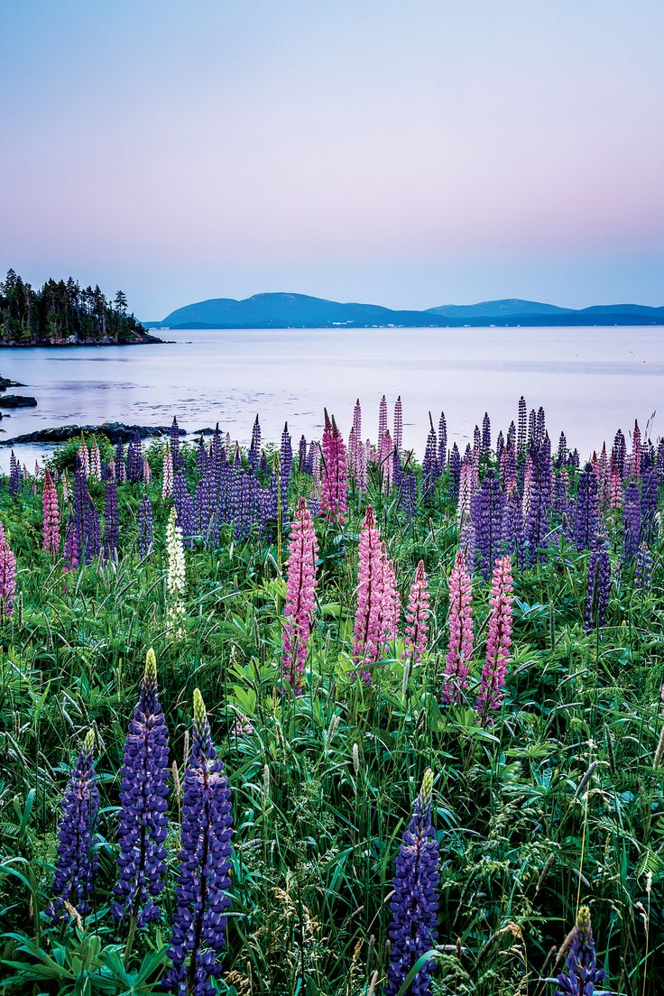 A lupine field in Hancock County, by Susan Cole Kelly — from our 2016 Maine Lupine wall calendar: downeast.com/store