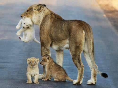 Mamá leona muy es muy inteligente.