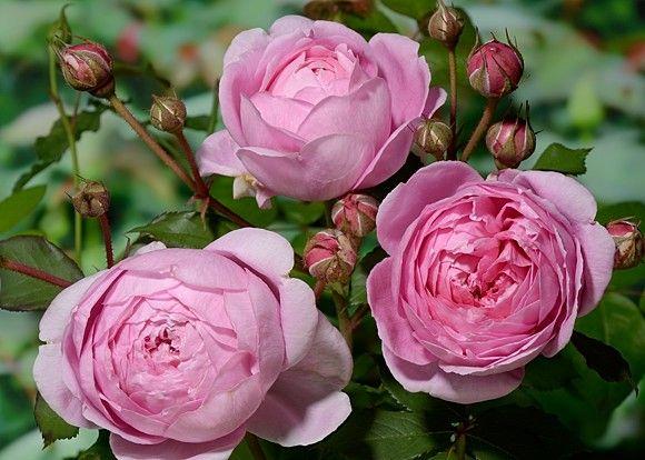 роза ноблес фото и описание и уход