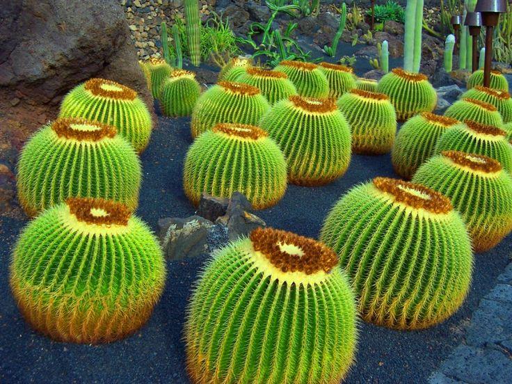 Cactus garden Lanzarote | My Style | Pinterest | Cacti, Barrel cactus and Gardens