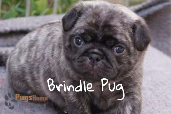 Brindle Pug Puppies One Of The Most Favorite Pug Breed Brindle Pug Pug Puppies Pug Breed