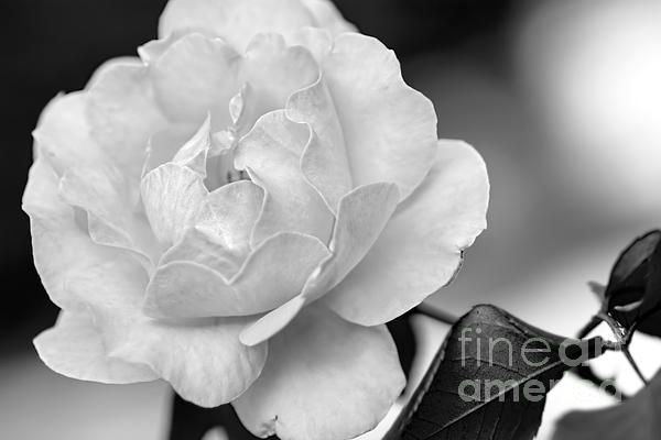 #ROSE IN #BLACK AND #WHITE by #Kaye #Menner Quality Prints Cards at: http://kaye-menner.artistwebsites.com/featured/rose-in-black-and-white-by-kaye-menner-kaye-menner.html