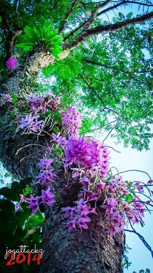 -m-....Orchids on jungle trees. You hardly see this anymore but maybe you get lucky. Costa Rica.....