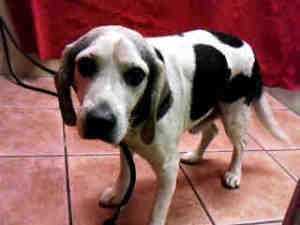 A4529851 URGENT DOWNEY SHELTER is an adoptable Beagle Dog in Downey, CA. **WE NEED VOLUNTEERS TO POST & REMOVE PETS ON PETFINDER. IF YOU CAN COMMIT TO THE CAUSE OF HELPING SAVE SHELTER ANIMALS, PLEASE...