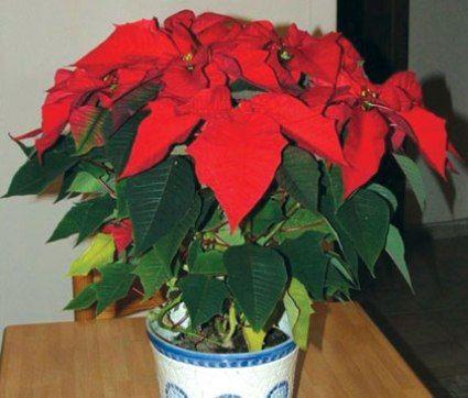 Minden ünnepi szezonnak megvannak a jellemző virágai, most, a karácsony közeledtével természetes, hogy a mikulásvirág lép elő slágernövénnyé. A mikulásvirág igazából nem is annyira a karácsony apropójából kerül előtérbe, nevét alapul véve inkább a Télapó-ünnephez…