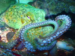 RAISE AN OCTOPUS - Not sure if I want to keep one, but this link tells how. What marvelous creatures!