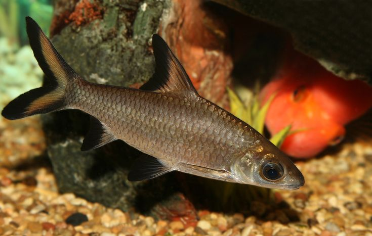 Especies de peces de acuario de agua dulce