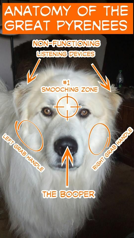 Anatomy of the Great Pyrenees- Daisy may only be half Pyrenees, but she has quite a bit of this anatomy. I love the handles and non-functioning listening devices!