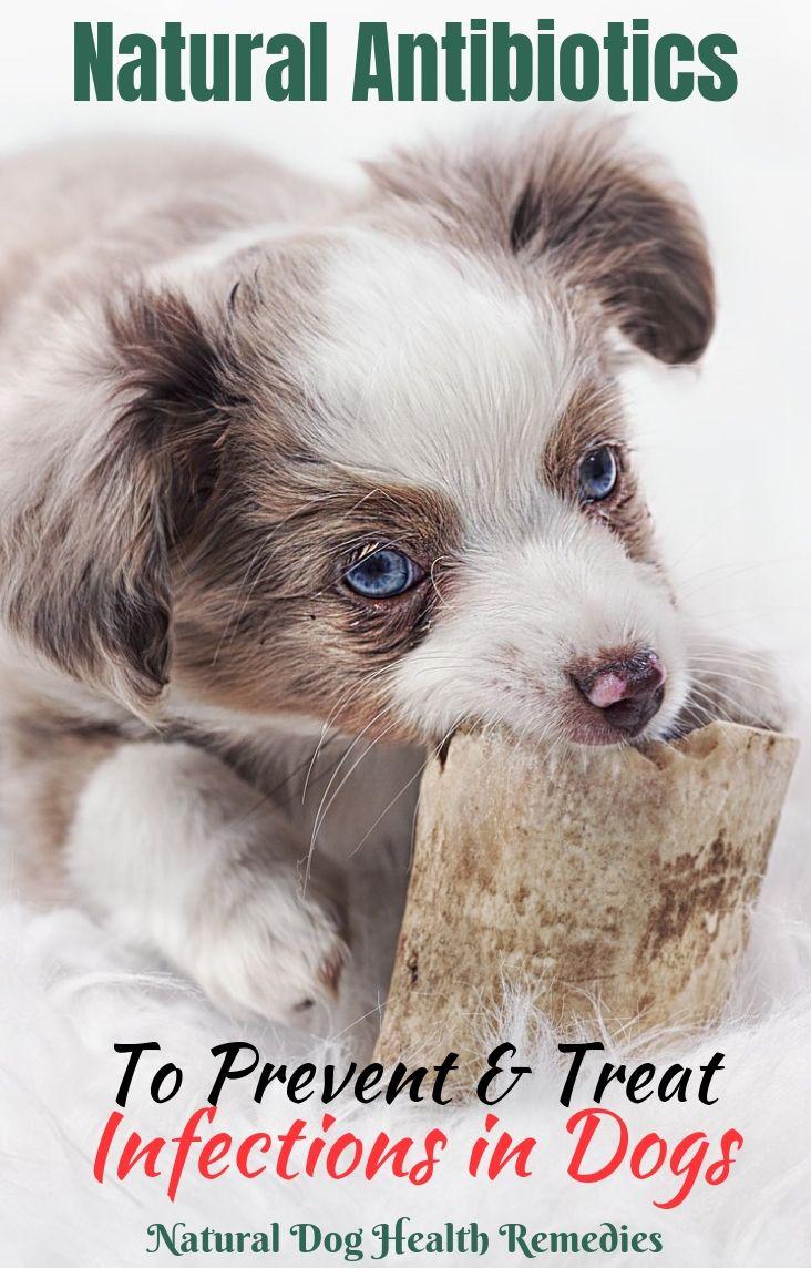 Canine Antibiotics Dog Remedies