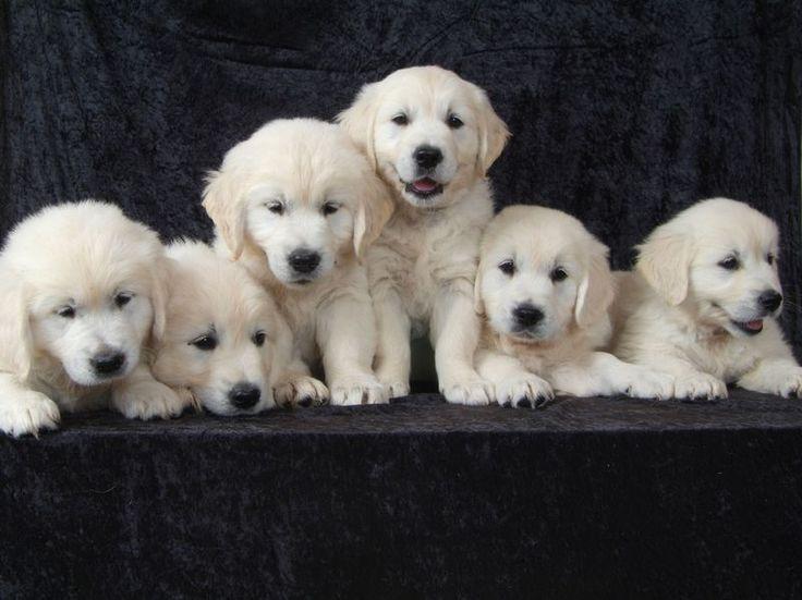 White Golden Retriever Puppies Southern California Ideas