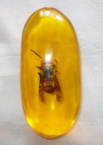 Honey Bee Fossil In Baltic Amber.