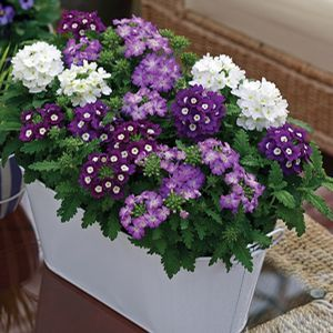 Buy Verbena Tuscany Passion Mixture Annual Plants Online. Garden Crossings Online  Garden Center Offers A