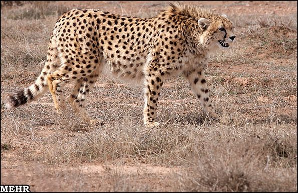 Asiatic Cheetah / Iranian Cheetah (Acinonyx jubatus venaticus) - once ranging grasslands from Russia and India through the Middle East, Asiatic Cheetahs can now only be found in Iran.