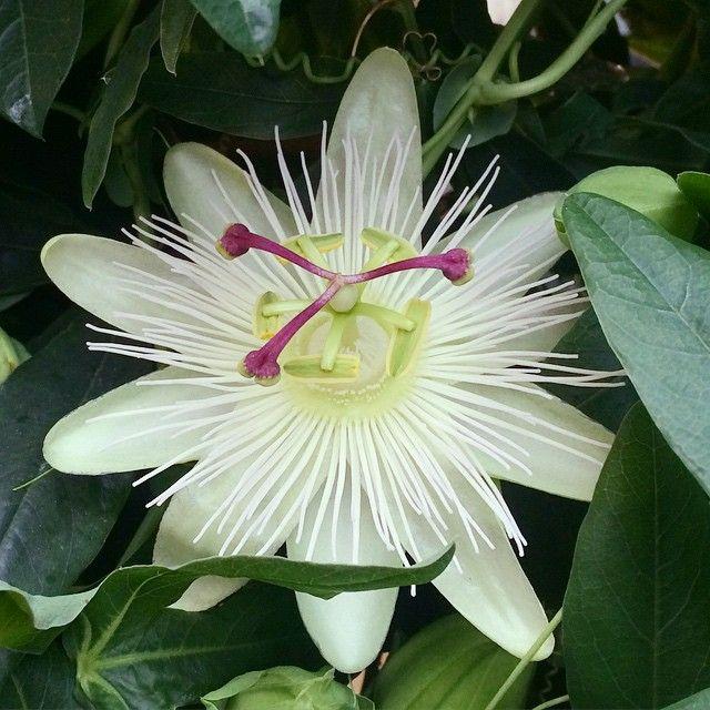 Da var vi endelig på instagram og:) #FlorissJar #pasjonsblomst #passiflora