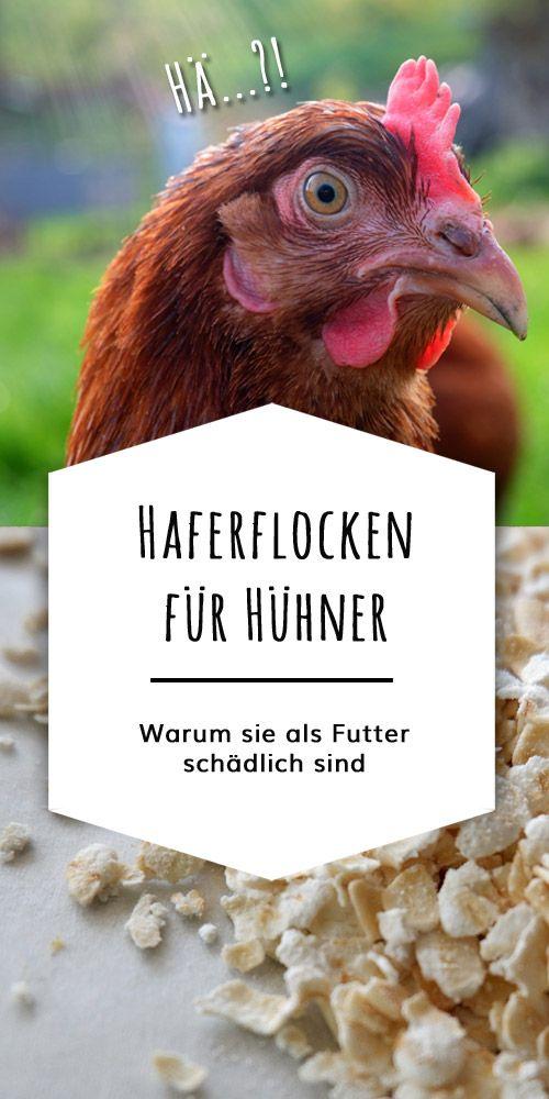 Sind Haferflocken Fur Huhner Schadlich Huhner Futter Huhner
