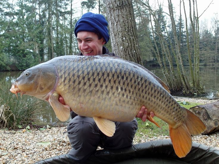 This stunning carp is the other largest common at Beausoleil. It was caught by my French carping friend Alexandre at 36lb and was one of three carp taken during a short 48 hrs session. The carp was caught on a 10'' braided rig with 2 x 16mm D-liver boilies on 2oz inline lead. #carpfishing  www.frenchcarpandcats.com