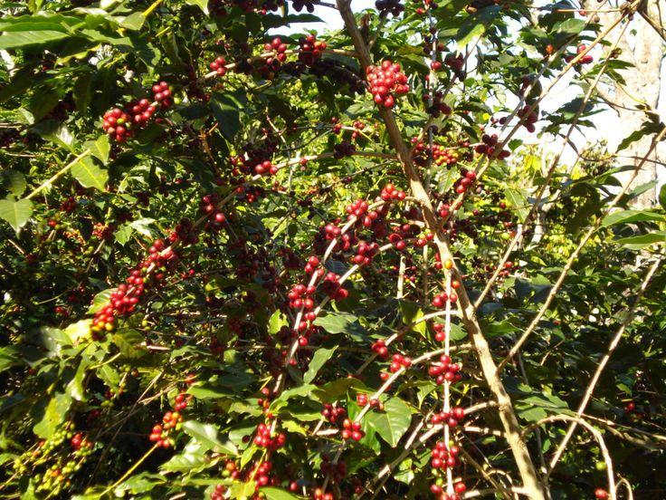 Vamos a ver algunos de los principales problemas para cultivar café en El Salvador, esto nos tiene que ayudar a ver la realidad de la problemática y ver en qué punto estamos y tomar acción sobre ello, no es para que tiremos la toalla no es esa mi intención sino ser lo más realista posible y de ahí partir. Entonces veamos: La delincuencia y la poca seguridad que hay en el país, desgraciadamente la delincuencia y las pandillas tienen prácticamente tomado a este país en muchos rubros y la…