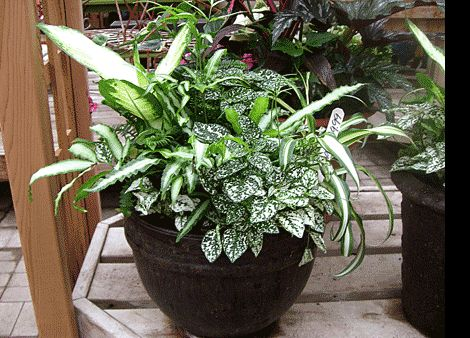 Shade container ngredients plant type dieffenbachia fern pteris fern hypoestes white - Container gardens for shade ...
