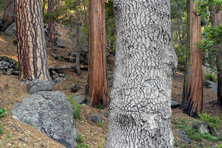 Mixed forest of incense-cedar (Libocedrus decurrens ...