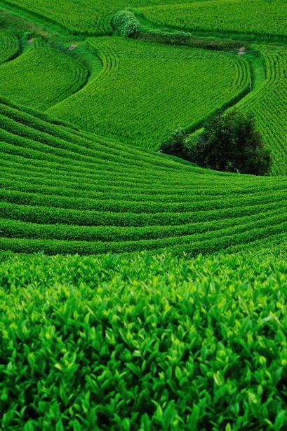 Japanese green tea plantation and terraced rice field うねる緑 茶畑と棚田