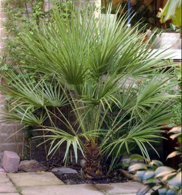 Mediterranean fan palm etsy in 2020 pool landscaping