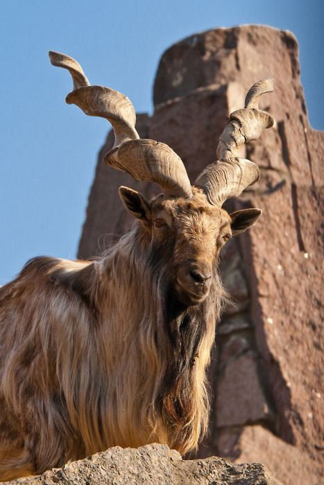 Endangered Flare-horned Markhor, national animal of Pakistan