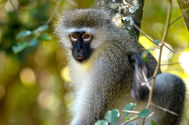 Monkeyland is the worlds first free roaming multi-specie Primate Sanctuary. A top eco-tourism attraction in the Garden Route of South Africa.