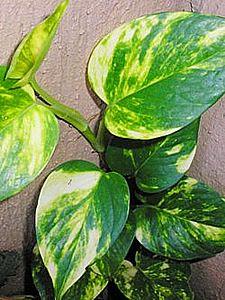 Epipremnum pinnatum, Era-do-diabo, Jibóia-verde