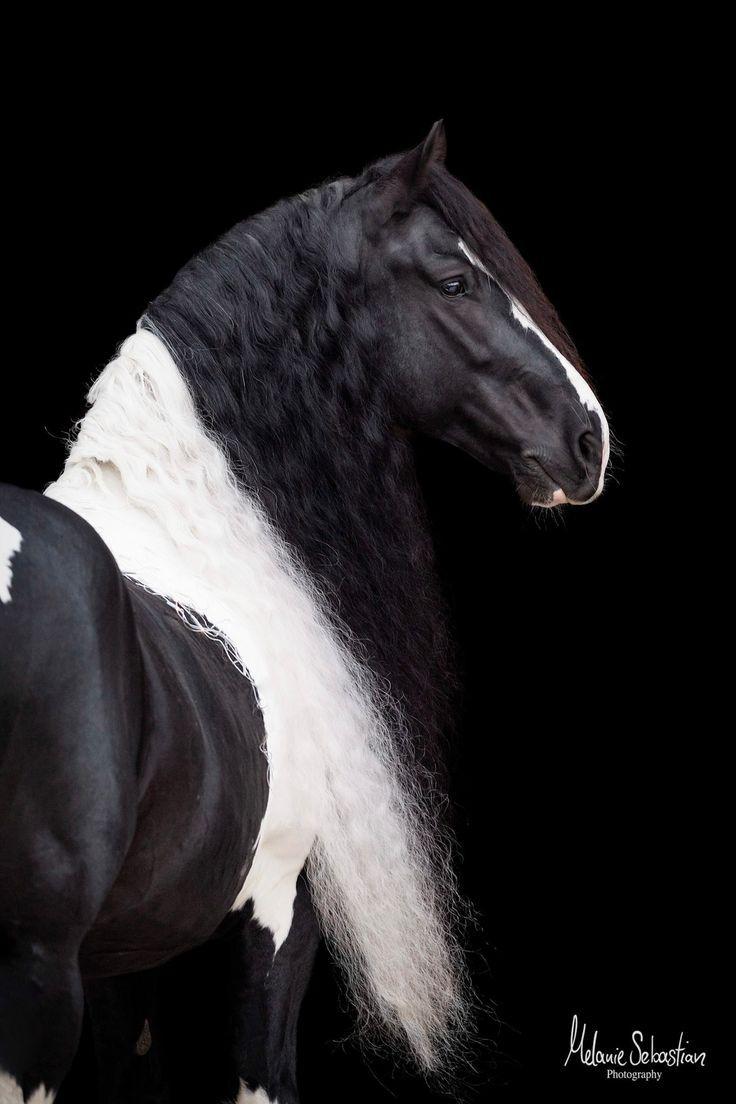 Edles Portrait von Barockpinto Anthimos. Bilder vor schwarzem Hintergrund, Pferdefotografie, Pferdebilder, Shooting mit Pferd, Tierfotografie Bayern M…
