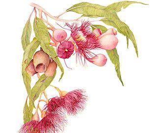 Red flowering gum fine art print