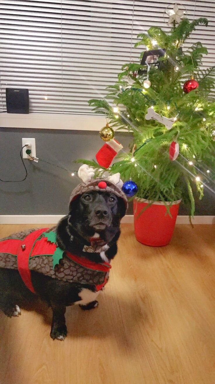 Daisy the corgi/lab applied to be one of Santa's newest reindeer this year. Takes the job of protecting toys very seriously.. http://ift.tt/2BdfqrL