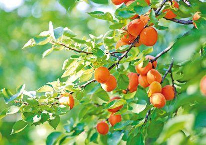 Ovocinár radí, ako pestovať marhule a broskyne