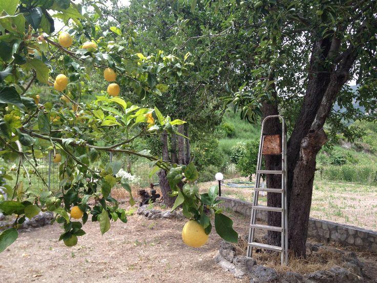 En bungende hage med sitroner..