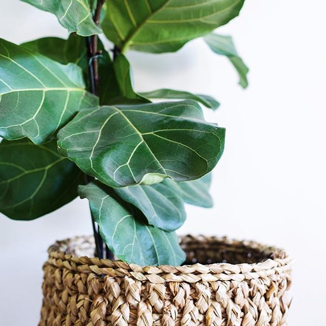 Product shoot details ~ the fiddle leaf fig.
