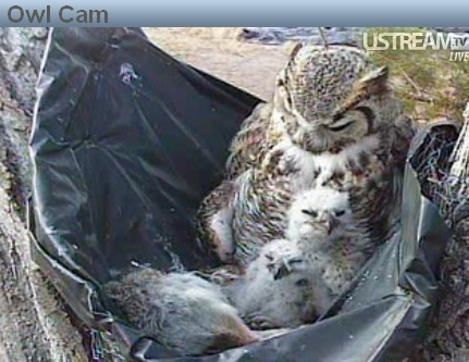 Mom, kids, and lunch. These great horned owls nested near our house for several years, though we only got them on camera successfully one year.
