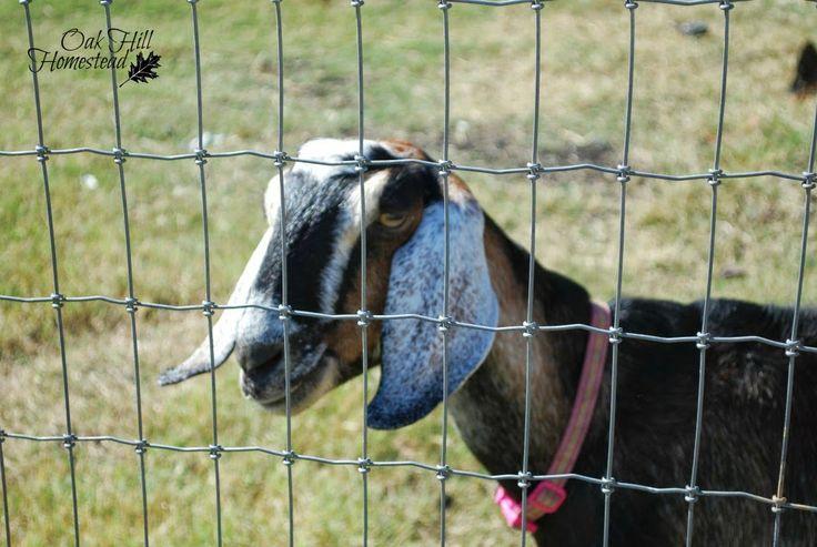 17 Best Ideas About Goat Fence On Pinterest Goat Pen