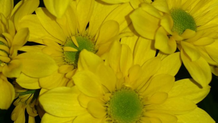 My gorgeous yellow chrysanthemums.