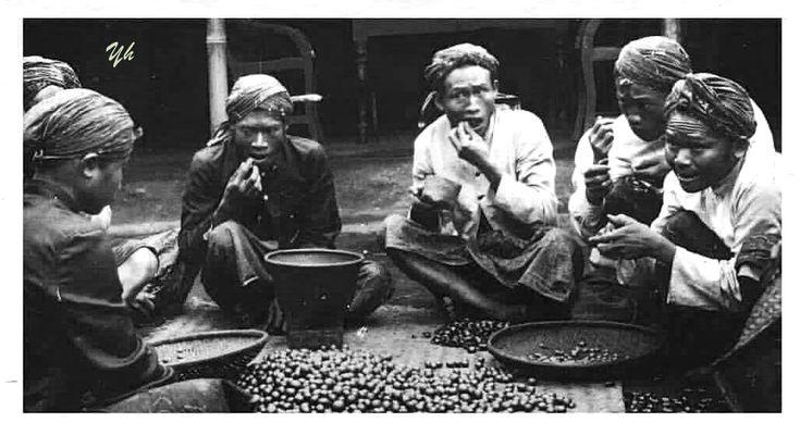 Mengupas biji kopi dengan cara digigit. Priangan sekitar 1910.