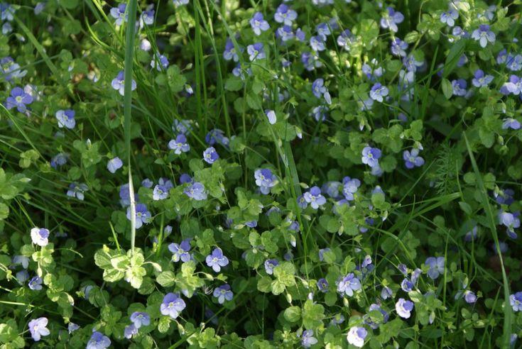 29 besten Lawn Weeds Bilder auf Pinterest | Essbare pflanzen ...