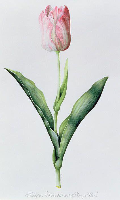 Tulipa Meissner Porgellan Print By Sally Crosthwaite