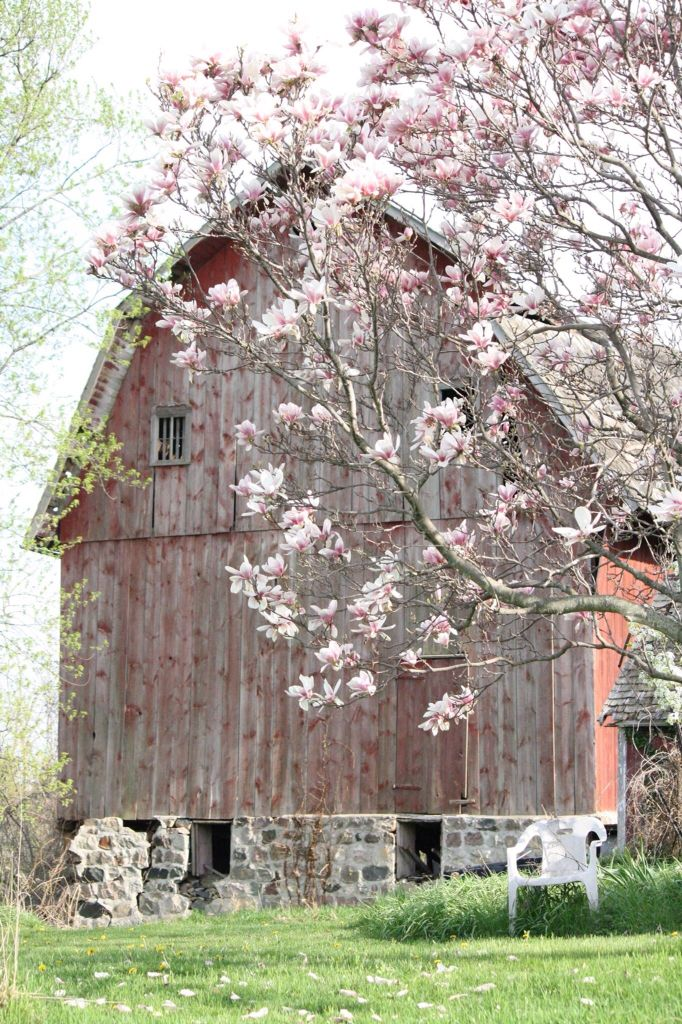 Country Living ~ Old Barn & Magnolia Tree