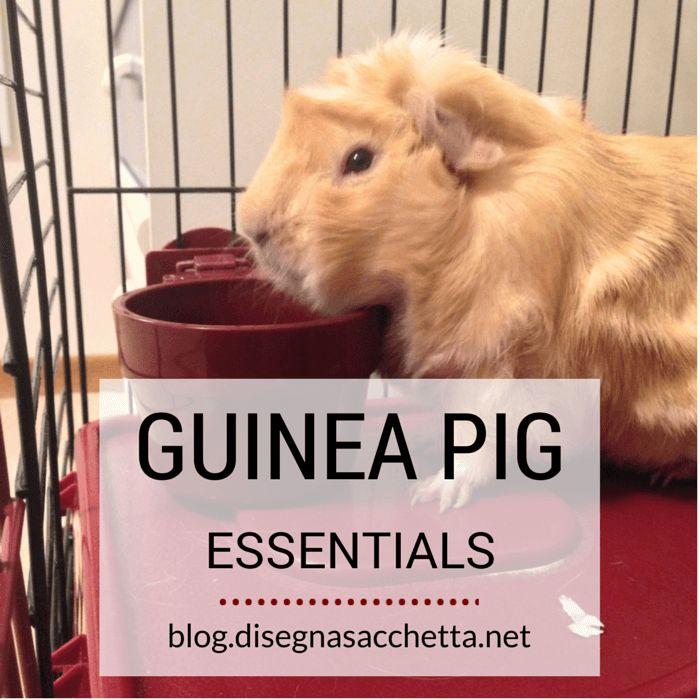 Guinea Pig Essentials | Meet Domenica
