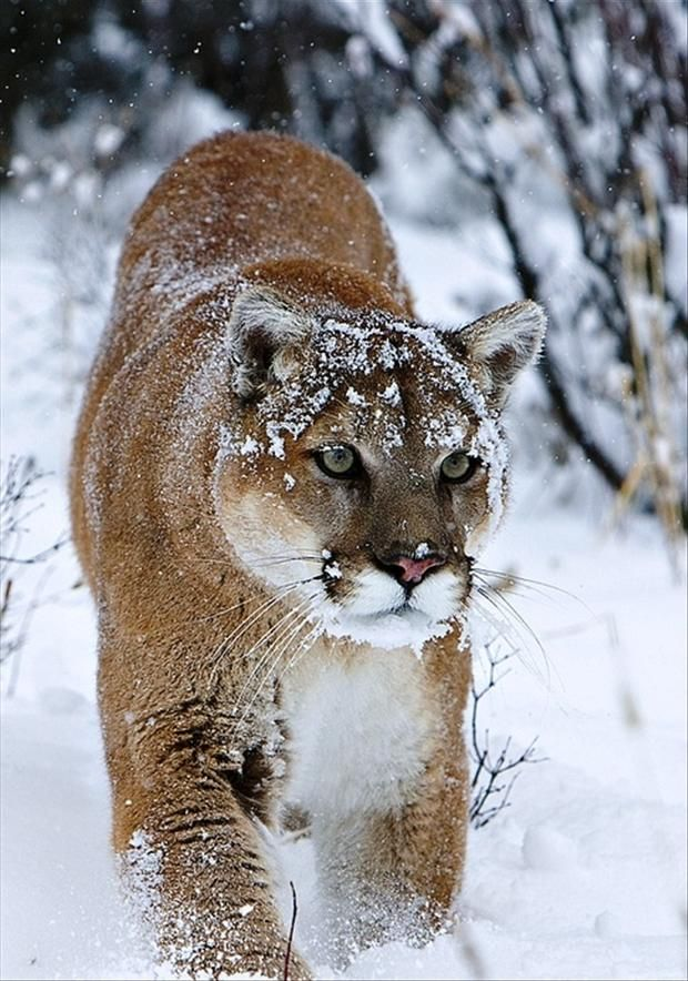 My favorite animal. The Mt. lion, puma, catamount. Amazing Wild Animal Pictures – 40 Pics