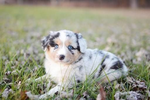 Miniature Australian Shepherd puppy for sale in KANSAS CITY, KS. ADN-26750 on PuppyFinder.com Gender: Female. Age: 7 Weeks Old