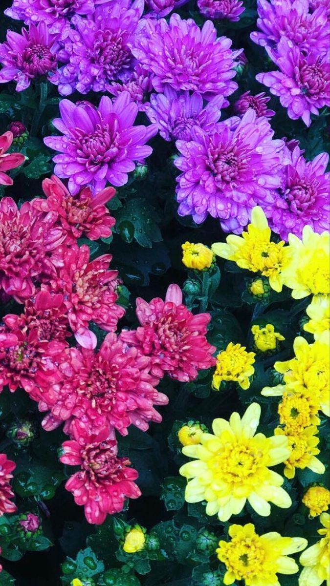 Mums Flowers In 2020 Mums Flowers Flowers For Sale Tropical Flower Arrangements