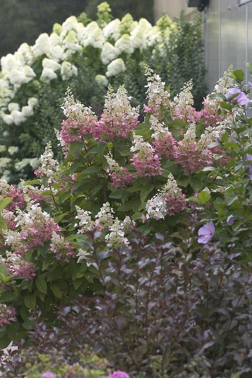 Hydrangea Paniculata Pinky Winky Common Name Hardy